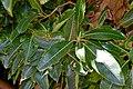 Arbutus canariensis in Dunedin Botanic Garden 02.jpg