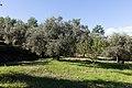 Archangelos Αρχάγγελος Rhodes Ρόδος 2019-11-27 03 olive grove.jpg