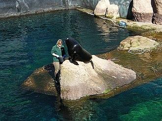Wrocław Zoo - The feeding of a brown fur seal at the Wrocław zoo