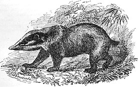 http://upload.wikimedia.org/wikipedia/commons/thumb/d/d8/Arctonyx_collaris_-_Sterndale.jpg/275px-Arctonyx_collaris_-_Sterndale.jpg