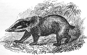 Schweinsdachs (Arctonyx collaris)