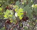 Arctostaphylos patula Greenleaf Manzanita 00b (homeredwardprice).jpg