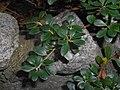Arctostaphylos uva-ursi 2017-09-26 4795.jpg