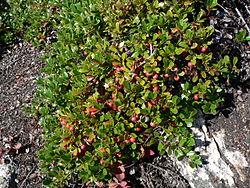 Arctostaphylos uva-ursi 25924.JPG