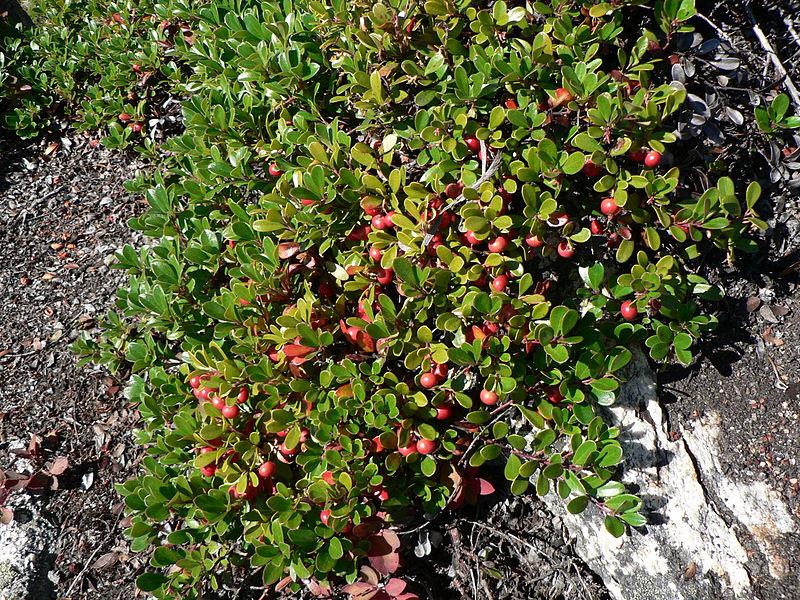 File:Arctostaphylos uva-ursi 25924.JPG