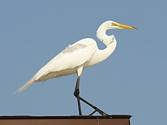 Ardea alba (on roof).jpg