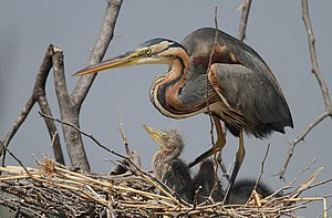 Purple heron - Adult with chicks at Lake Baringo, Great Rift Valley, Kenya