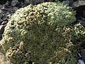 Arenaria tetraquetra granatensis 4.jpg