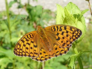 High brown fritillary species of butterfly