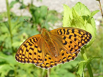 High brown fritillary - Dorsal side, Germany