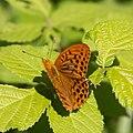 Argynnis paphia-Tabac d'Espagne-20180616.jpg