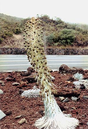 Argyroxiphium sandwicense subsp. macrocephalum