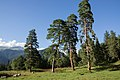 Arkhyz, Karachay-Cherkessia, Taulu, Trees.jpg