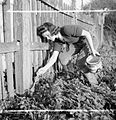 Arrest That Rat- the work of the Women's Land Army Rat Catchers, Sussex, 1942 D11257.jpg