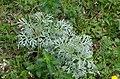 Artemisia absinthium 11.jpg