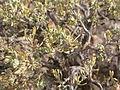 Artemisia arbuscula (3839997612).jpg
