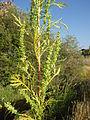Artemisia biennis (7997946450).jpg