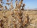 Artemisia cana (3300478212).jpg