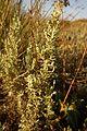 Artemisia gallica0295.jpg