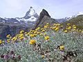 Artemisia glacialis Riffelhorn Matterhorn.jpg