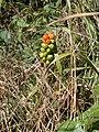 Arum maculatum - geograph.org.uk - 897195.jpg