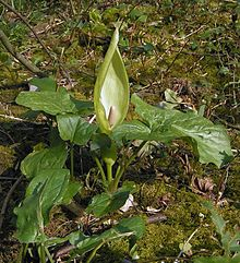 Lords and Ladies (Arum maculatum) is a common arum in British woodlands