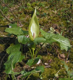 Araceae - The cuckoo-pint or lords and ladies (Arum maculatum) is a common arum in British woodlands.