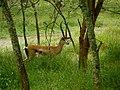 Arusha National Park, Grant's gazelle.jpg