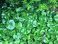 Asarum europaeum in early June.JPG