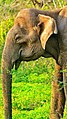 Asian Elephant Yala.jpg