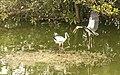 Asian openbill stork, Vedanthangal Bird Sanctuary.jpg