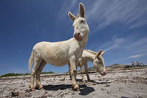 Asinara - The Albino Donkey for which the island probably was named.
