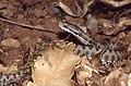 Asp Viper (Vipera aspis zinnikeri) neonate ... (Thanks to Jean NICOLAS) (44467401612).jpg