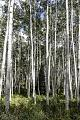 Aspen trees along the high dirt road leading to Crested Butte, Colorado, from the distant Crystal River Valley LCCN2015633795.tif