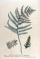 Asplenium filix-femina — Flora Batava — Volume v12.jpg