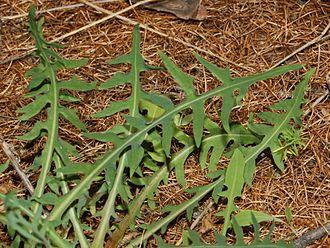 Lactuca perennis - Leaves of Lactuca perennis