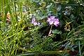 Astragalus sinicus 01.jpg