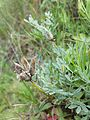 Astragalus vesicarius subsp. vesicarius sl5.jpg