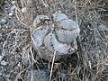 Astrophytum myriostigma (5699287679).jpg