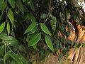 Atalantia monophylla 05.JPG