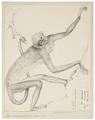 Ateles belzebuth - 1829-1867 - Print - Iconographia Zoologica - Special Collections University of Amsterdam - UBA01 IZ20200115.tif