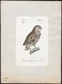 Athene noctua - 1842-1848 - Print - Iconographia Zoologica - Special Collections University of Amsterdam - UBA01 IZ18400027.tif