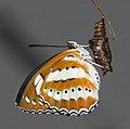 Athyma perius - Common Sergeant 08.jpg