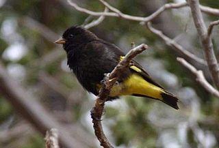 Black siskin Species of bird