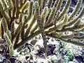 Aulostomus maculatus (trumpetfish) (San Salvador Island, Bahamas) 1 (16639882698).jpg