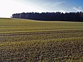 Autumn-sown cereal near Mains of Balnagowan (farm) - geograph.org.uk - 281430.jpg