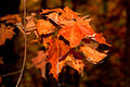 Autumn leaves at Arrowhead Provincial Park.jpg