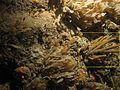 Axinellidae WBRF CEND0313 ADDGT12 STN 193 A1 020.jpg