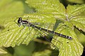 Azure damselfly (Coenagrion puella) female green form.jpg