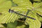 Azure damselfly (Coenagrion puella) female green form.jpg